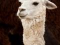 alpaca-20811_640