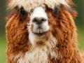 alpaca-84477_640